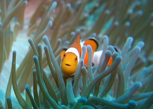 Sea-Heritage-Clownfish-Indonésie-Lembongan