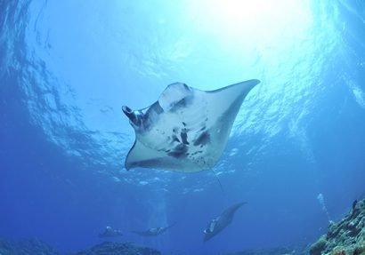 SEA HERITAGE Voyage à destination de  Indonesia - Identifying fish species with a focus on manta rays