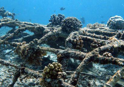 SEA HERITAGE Voyage à destination de  Indonesia - Reef Check or Biorocks, the coral restoration: see, act!